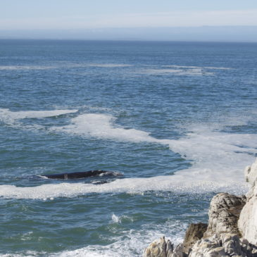 Hermanus. Whales in South Africa